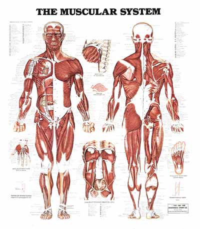 chapter 6 muscular system answers, Muscles